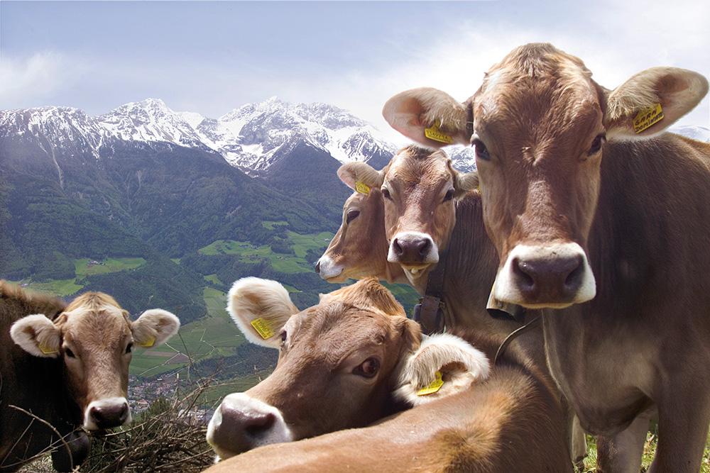 Kühe am Mittermüllerhof